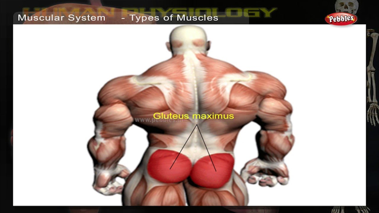 Muscular System | How Human Body Works | Human Body Parts and ...