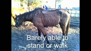 Abused Horses Alazar & Prince Rescued by Lost Hearts and Souls.mov