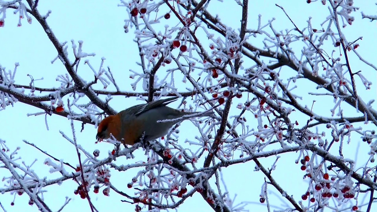 Lovely  Bird In Frozen Tree Eating Red Fruits In Winter