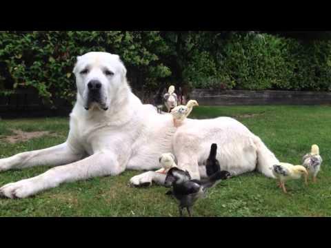Central Asian Shepherd Atila Realdog guards & Shamo chicks little red rooster