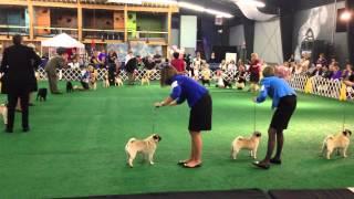 2013 Pug Dog Club Of America National Specialty