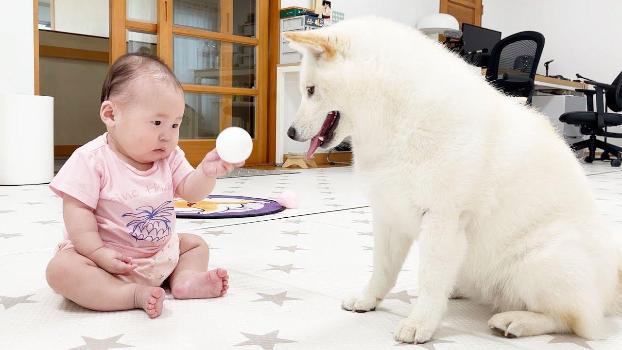 아기 공을 뺏을까 말까 고민하는 강아지