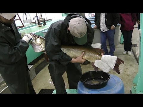 Best Ever Muskie Egg Fertilization At Spirit Lake Iowa Fish Hatchery, You Will See Fish