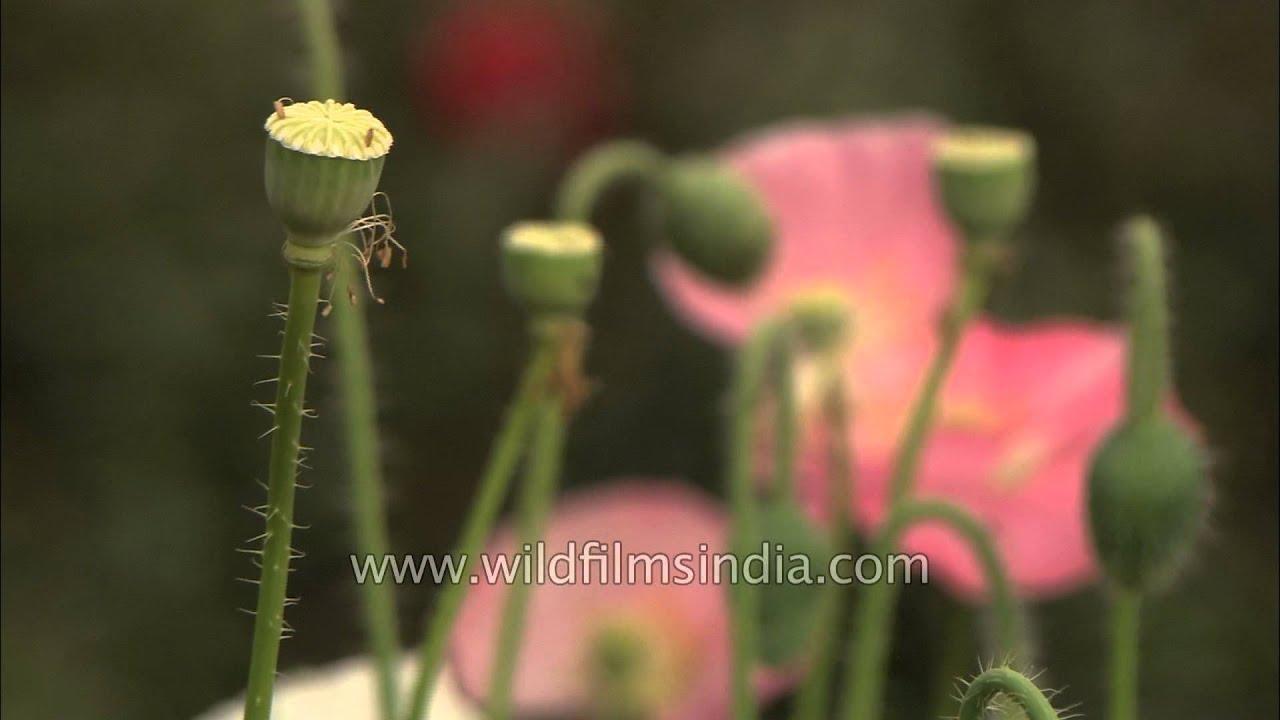 Pale Pink Poppy Flower Youtube