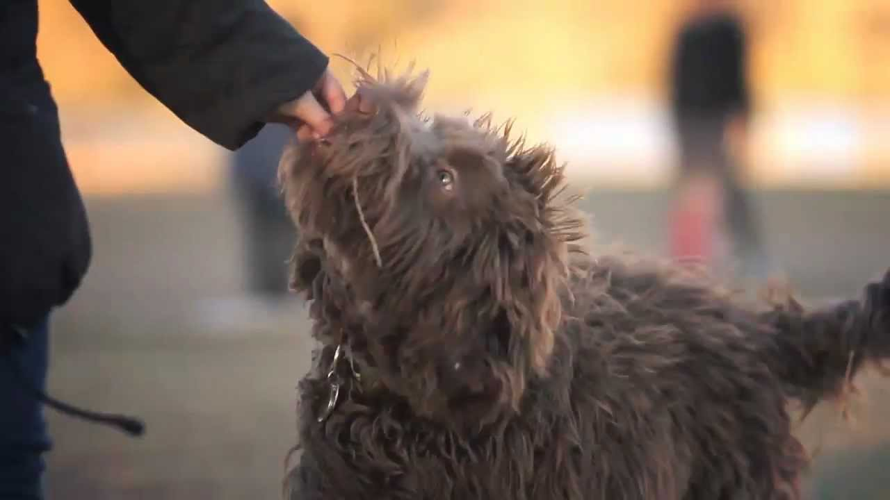 Labradoodle Loves to Run Around | The Daily Puppy