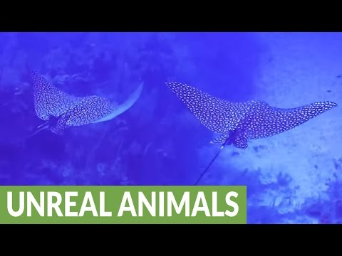 Diver swims with two massive and beautiful stingrays