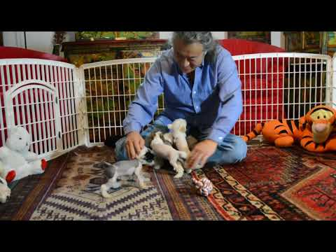 Lily's Chinese Crested puppies 7 wks 2 of 2