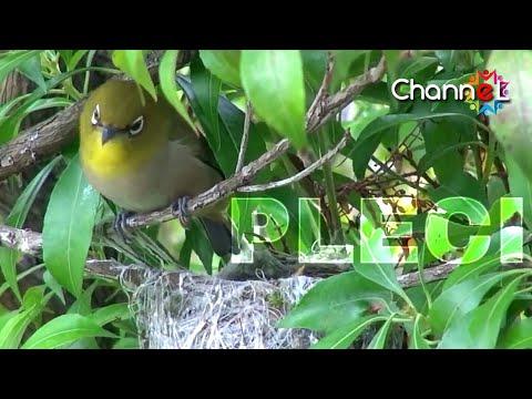 Sarang Burung Pleci