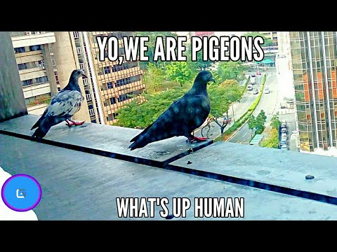 #AreYouBored  Watch Pigeons for 6 MINUTES and Pigeons will watch you.