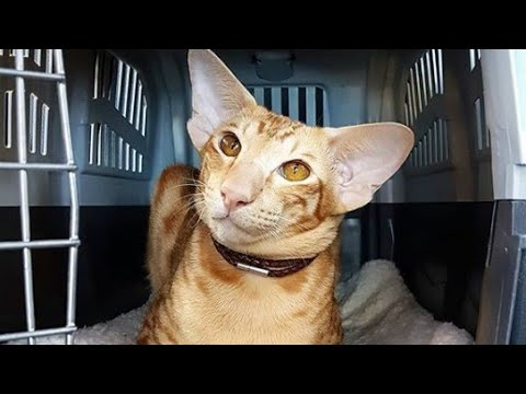 Smart Oriental Shorthair Cat : Lovely Kaiser