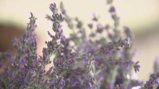 Families enjoy annual Lavender in the Village Festival in Los Ranchos