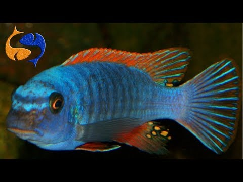 Ammonia Spikes? Jewel Cichlids Are Africans? Are African Cichlids Good Beginner Fish!