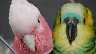 Galah Cockatoo vs Blue Fronted Amazon parrot
