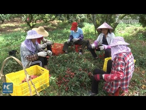 Lychee cultivation in Guangxi grows and glows, thanks to China's reform and opening up