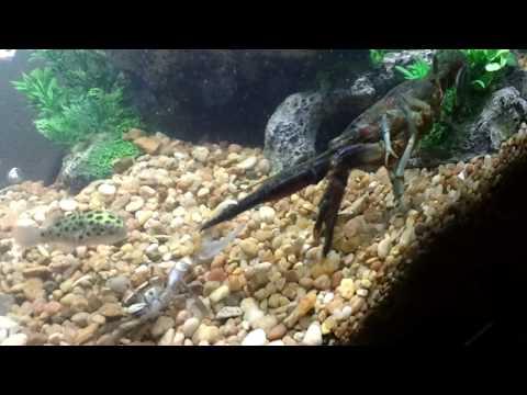 Crayfish -VS- Fiddler Crab (Tug Of War Fight) In HD