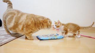 子猫と対面した先住猫が激おこ状態になっちゃいました…