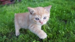 Рыжий-рыжий,конопатый....котенок -метис британской кошки