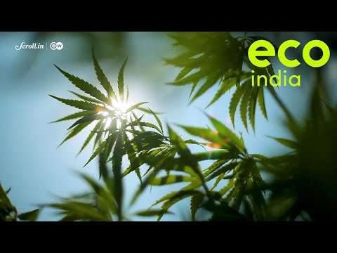 Eco India: In the hills of Uttarakhand, extracting industrial hemp has helped local farmers prosper
