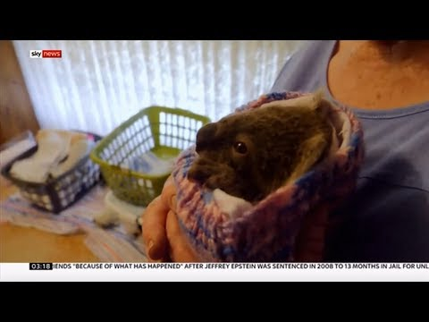 Weather Events 2019 – Bush fires – Koalas (Australia) – Sky news – 18th November 2019