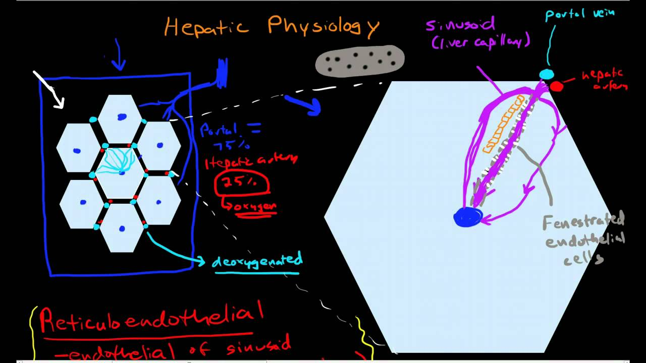 Hepatic Physiology 3 Sinusoids Surrounding Cells Youtube