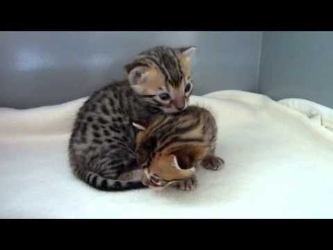 Cutest Bengal kittens ever