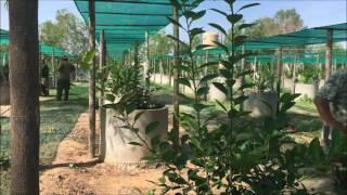 Soliders' activity for growing lemon plants, Phnom Penh, Cambodia.