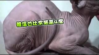 蘋果動新聞 斯芬克斯王國貓舍 台灣 Sphynxkingdom Cattery Taiwan 加拿大無毛貓簡介