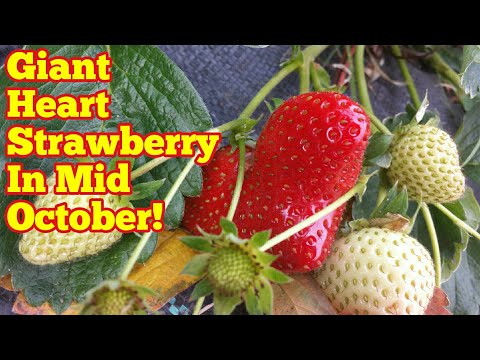 Giant Heart Satrawberry In Mid October ( Or How We Found Global Warming Is A Scam!)