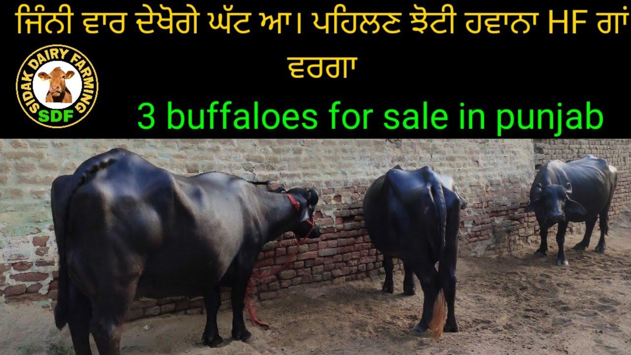 Extraordinary buffalo for sale in punjab, ਇਹ ਪਹਿਲਣ ਵੀ ਚੋਟੀ ਦੀਆਂ ਝੋਟੀਆਂ ਵਿੱਚ ਆਉਂਦੀ ਆ