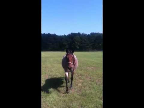 Marsh tacky horses 2