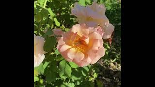 Abeja en una rosa 🌹