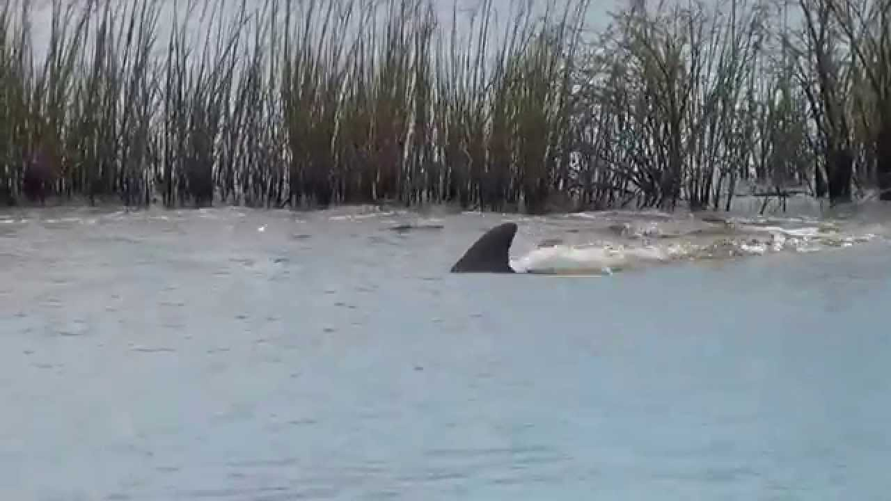 dolphins swimming with alligators  then a dolphin splashes