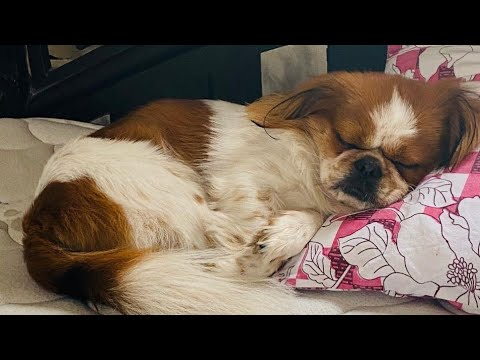 Japanese chin | Dog | Mounty | Dogs breed -1
