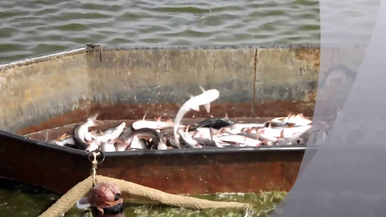 Pangasius culture in andhra pradesh youtube for Koi pond india