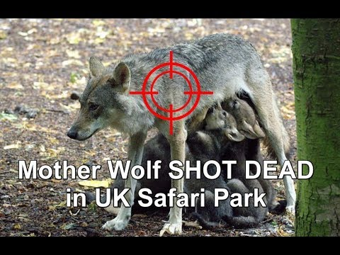 MOTHER WOLF 'EMBER' SHOT DEAD BY UK SAFARI PARK