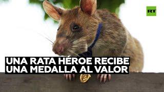 Una rata recibe una medalla de oro por su trabajo para salvar vidas humanas detectando minas