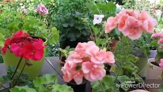 Пеларгония. Начало цветения сформированных кустиков.
