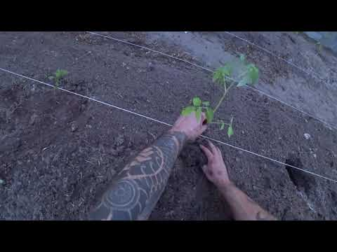 Planting Tomatoes in the New Garden Plot 23 May 2018