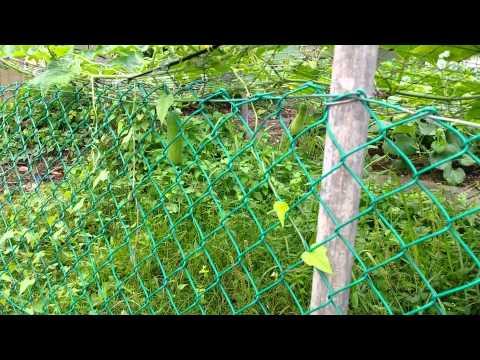 Organic Farming in Singapore.  Video 6 of 10