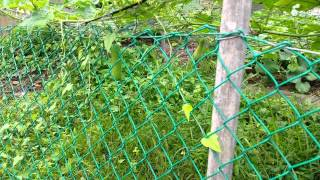 Organic Farming in Singapore.  Video 6 of 10