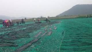 Как собирают морскую капусту?