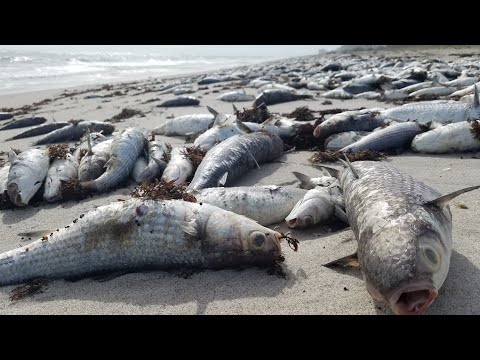 Why is this FISH KILL happening? - Red Tide Update