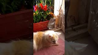 Патио для кошки. Метис турецкий ван и турецкая ангора.