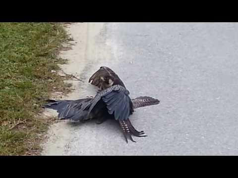 Falcon Takes Down Night Heron