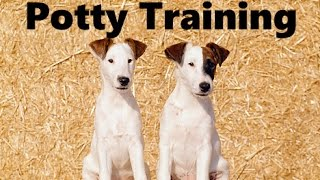 How To Potty Train A Smooth Fox Terrier Puppy - House Training Smooth Fox Terrier Puppies Fast