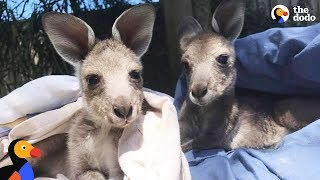 Baby Kangaroos Rescued, Raised and Released by Adorable Couple | The Dodo thumbnail