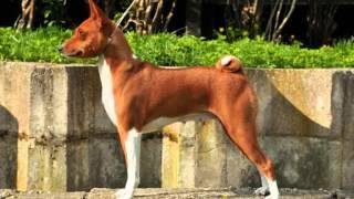 Все породы собак.Басенджи(Basenji)