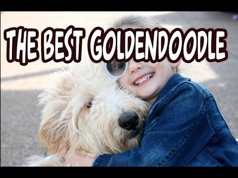 What is the Best Goldendoodle for No Shedding and Allergies?