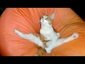 Funny CATS – HOLD YOUR LAUGH IF YOU CAN  CHALLENGE