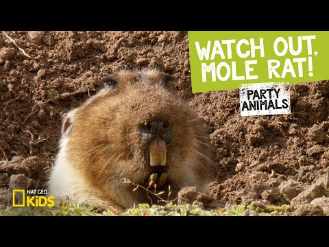 Watch Out, Mole Rat! feat. Parry Gripp (Music Video) | PARTY ANIMALS PLAYLIST thumbnail